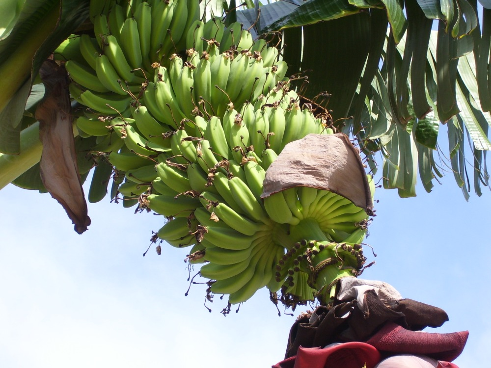 Edible Palm Tree (2/2)