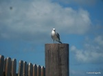 Seagull_post