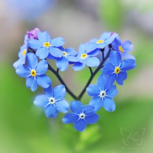 forgetmenotflowers_heart