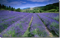 Champ de lavande, Provence-Alpes-Côte d'Azur, France (field of lavender in Provence)