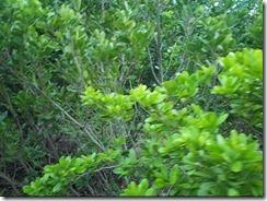 mangroves_clip