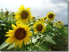 Sunflowers_Beauty