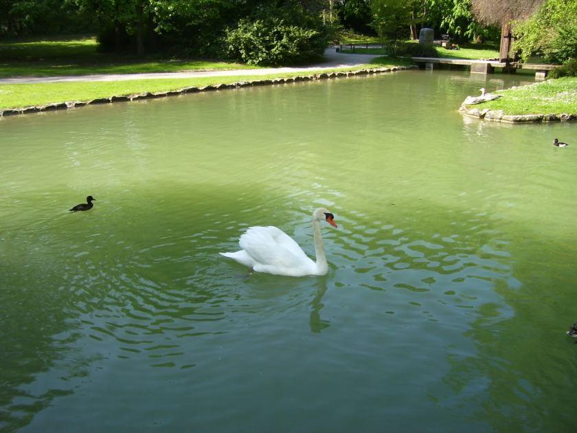 White_Swan