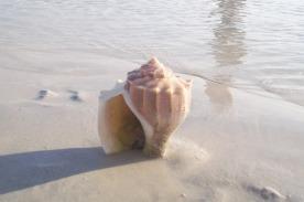 Conch Shell © Cynthia Martz