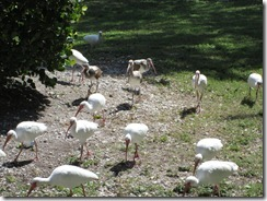 Egrets_March
