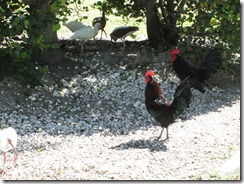 Egrets_Roosters