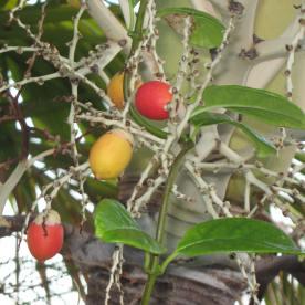 Christmas Berries © Cynthia Martz