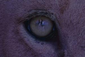 Lion-Eye-Snip