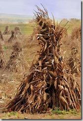 corn-stalk-bales-marcia-colelli