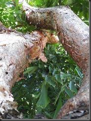 Gumbo_Limbo_Tree